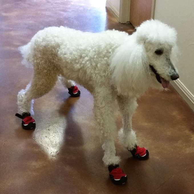 dog wearing therapy socks