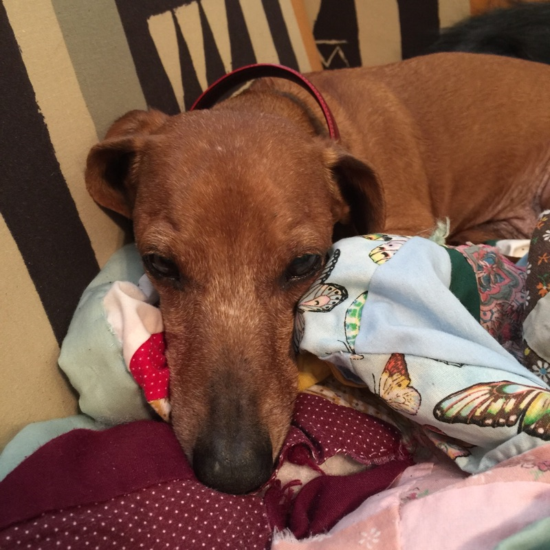 Hugh the dog resting on blankets