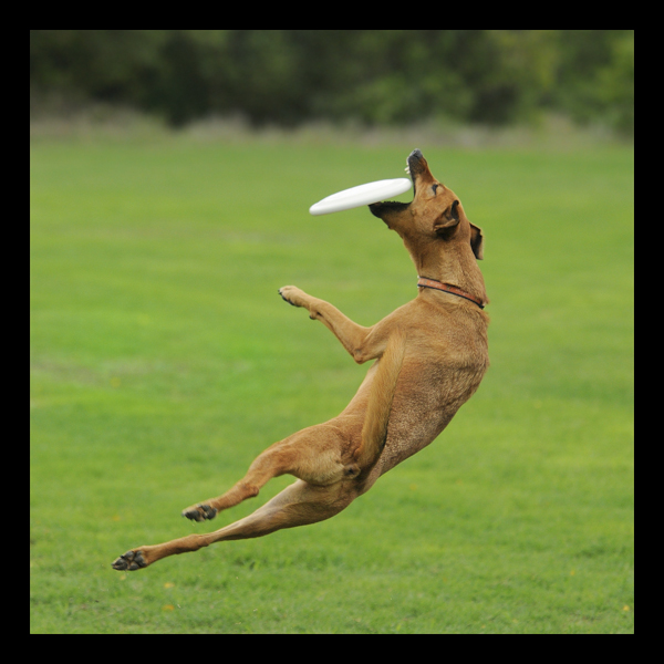 Bella the dog in mid air catching a frisbee